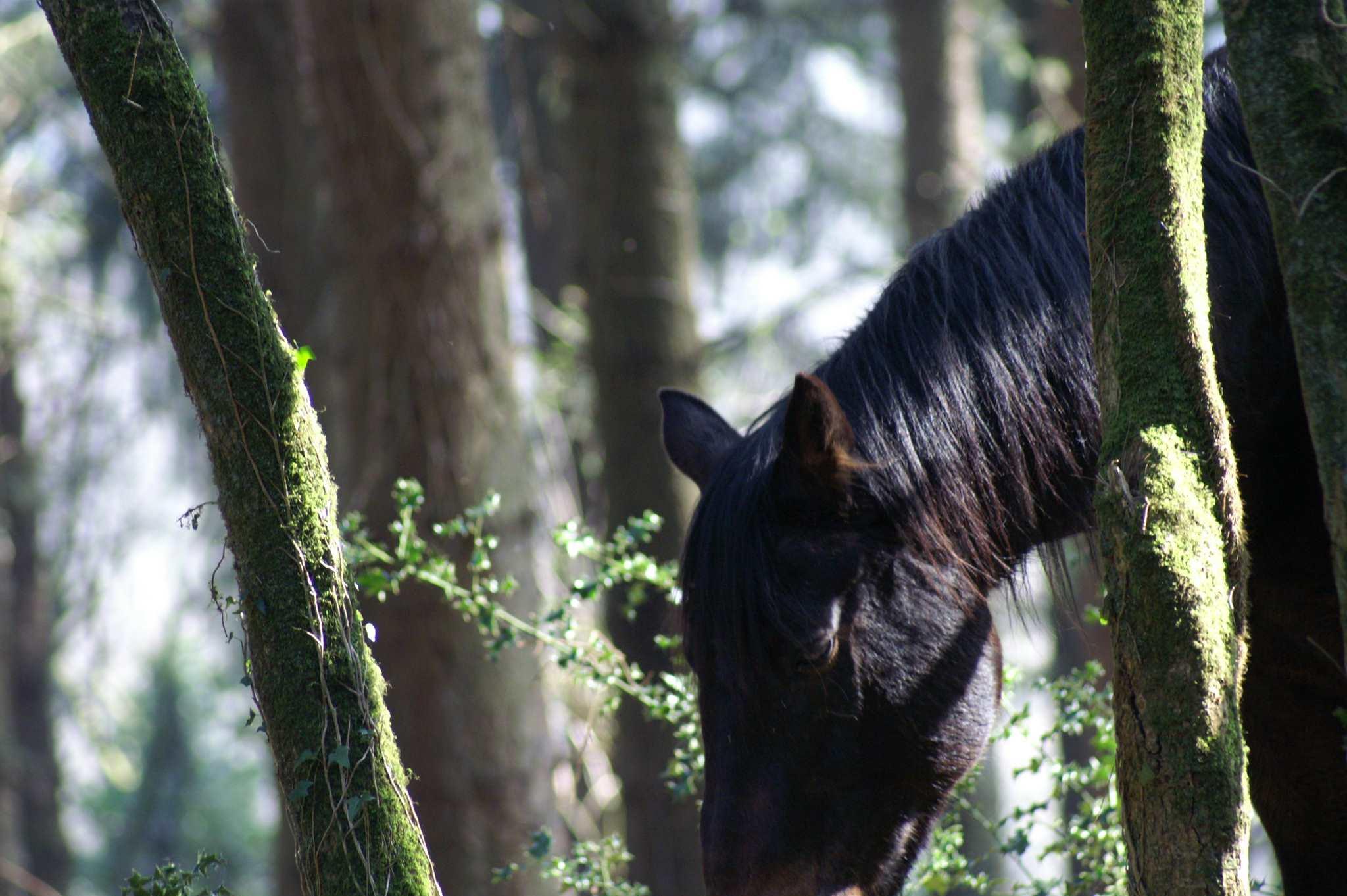 Lombard dans le bois